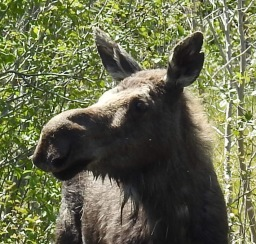 Chocolate Moose!